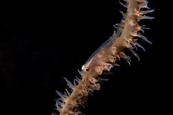 WHip coral goby in Fiji by Andy Lerner 